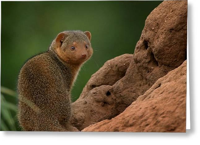 Mini Mongoose Greeting Card by Joseph G Holland