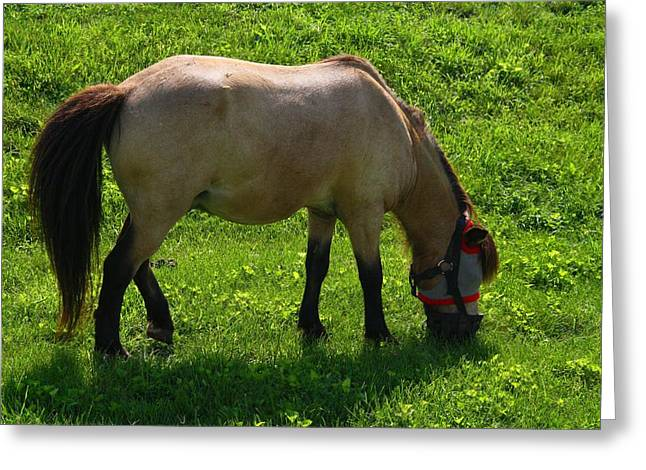 Kentucky Horse Park Photographs Greeting Cards - Miniature Horse Greeting Card by Kathryn Meyer