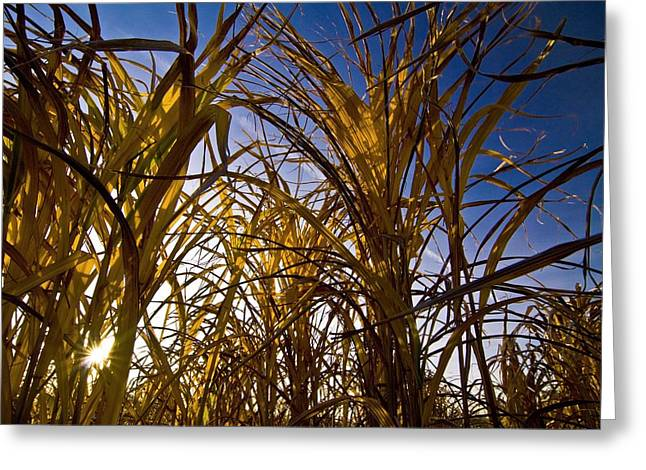 Monocotyledon Greeting Cards - Miscanthus In Field Greeting Card by Chris Knapton