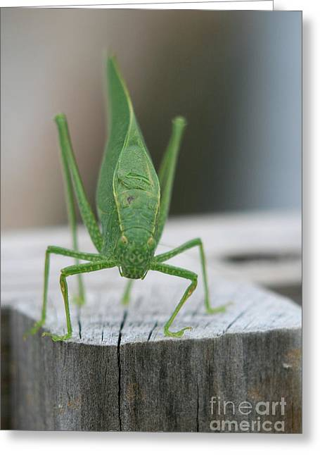 Katydid Greeting Cards - Miss Katy Greeting Card by Debra Straub