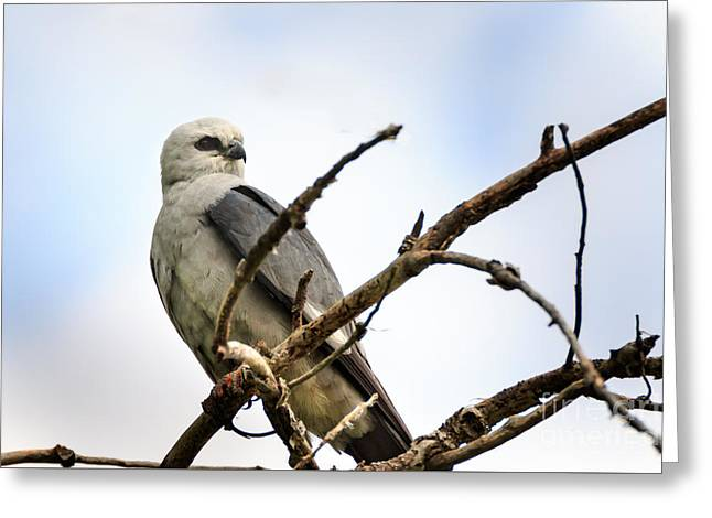 Kite Greeting Cards - Mississippi Kite as Rest Greeting Card by Richard Smith