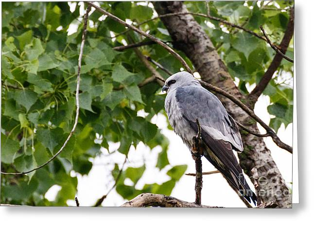 Kite Greeting Cards - Mississippi Kite at Rest Greeting Card by Richard Smith