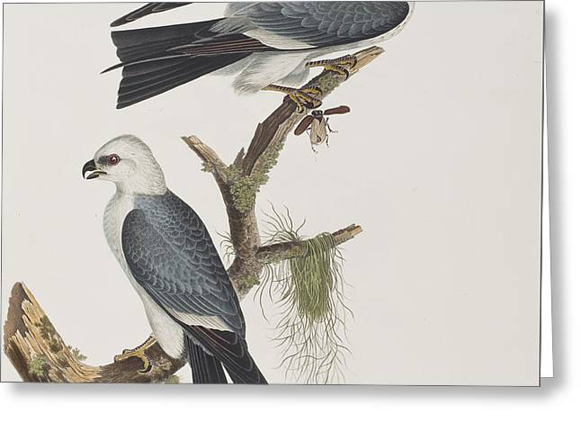 Kite Paintings Greeting Cards - Mississippi Kite Greeting Card by John James Audubon