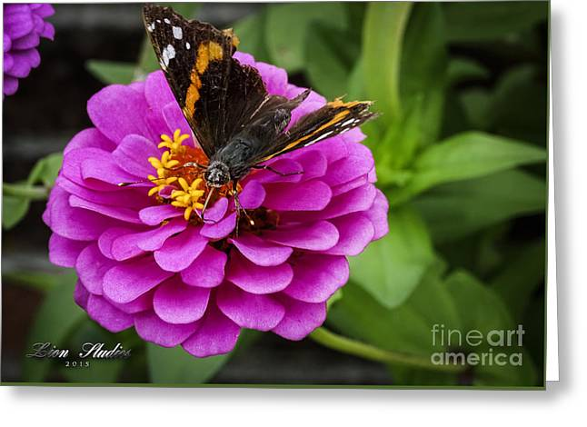 Zinna Greeting Cards - Mister Butterfly On A Pink Flower Greeting Card by Melissa Messick