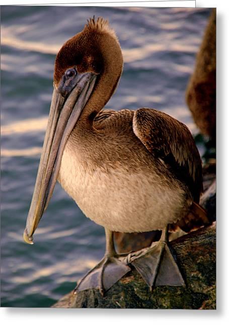 Sitting On Rock Greeting Cards - Mister Pelican Greeting Card by Susanne Van Hulst