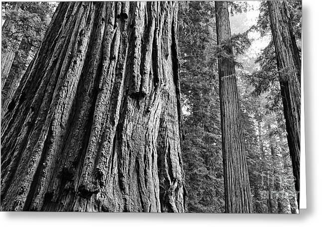 Misty Redwoods Greeting Card by Jamie Pham