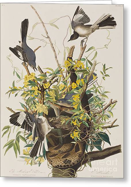 Mocking Greeting Cards - Mocking Bird  Greeting Card by John James Audubon