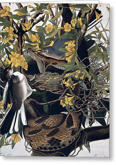 Wild Life Drawings Greeting Cards - Mocking Birds and Rattlesnake Greeting Card by John James Audubon