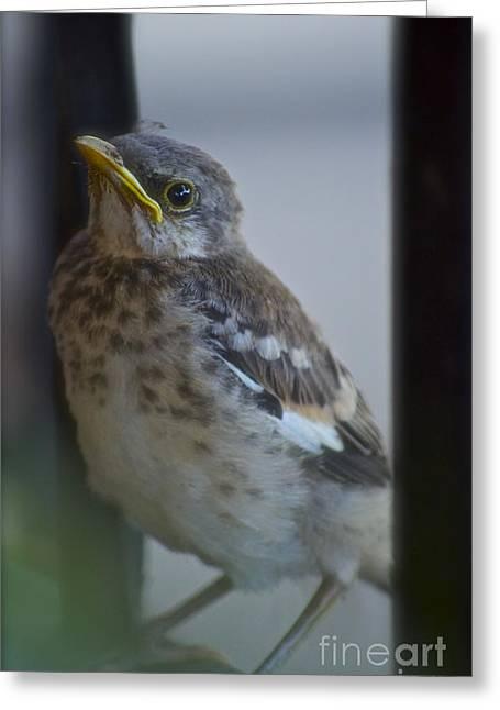 Baby Bird Greeting Cards - Mockingbird Chick Greeting Card by Gwyn Newcombe