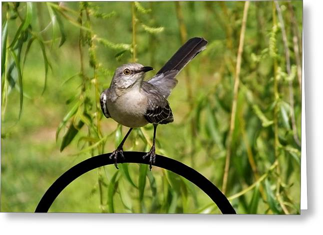 Zoology Greeting Cards - Mockingbird Greeting Card by Francie Davis
