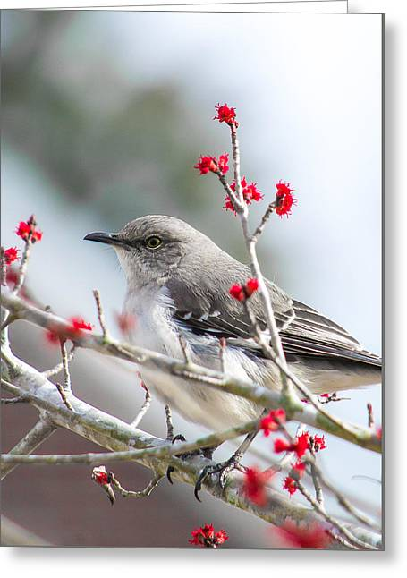 Mockingbird In The Blossoms Greeting Card by Shelby  Young