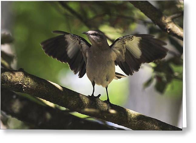 Bird Watcher Greeting Cards - Mockingbird  Greeting Card by Terry DeLuco