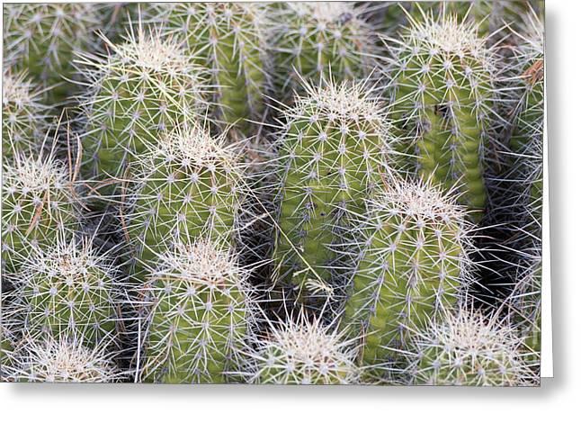 Mojave Mound Cactus Greeting Card by Mike Cavaroc