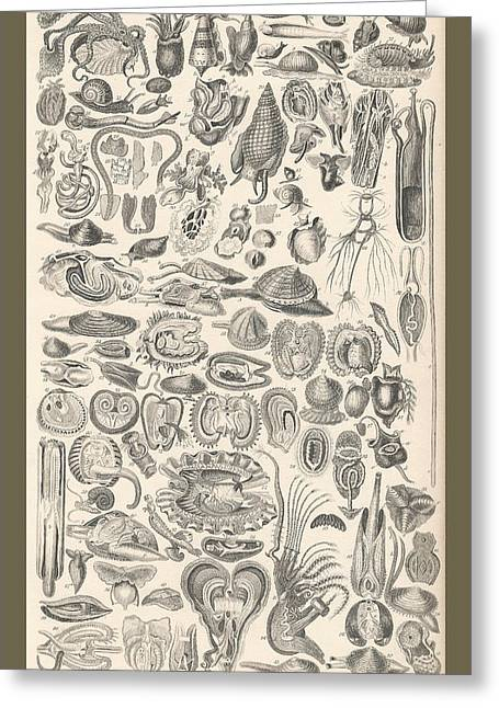 Thomas Drawings Greeting Cards - Mollusca Greeting Card by Captn Brown
