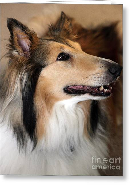 Collie Greeting Cards - Molly Greeting Card by Amanda Barcon