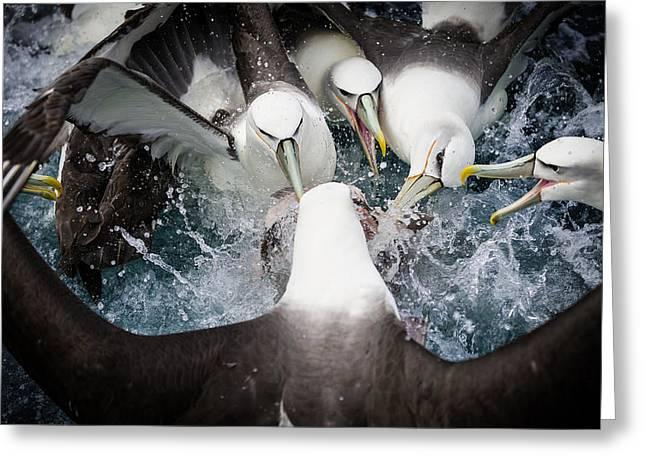 Sea Bird Greeting Cards - Mollymawk Fight Greeting Card by Mark Bridgwater