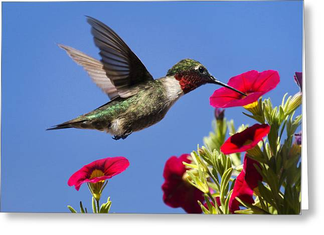 Ruby Throated Hummingbird Wall Art Greeting Cards - Moment Of Joy Hummingbird Square Greeting Card by Christina Rollo