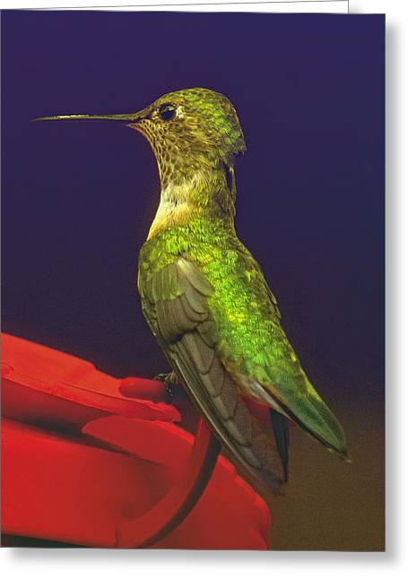 Migrating Hummingbird Greeting Cards - Momentary Pause Greeting Card by Becky Titus