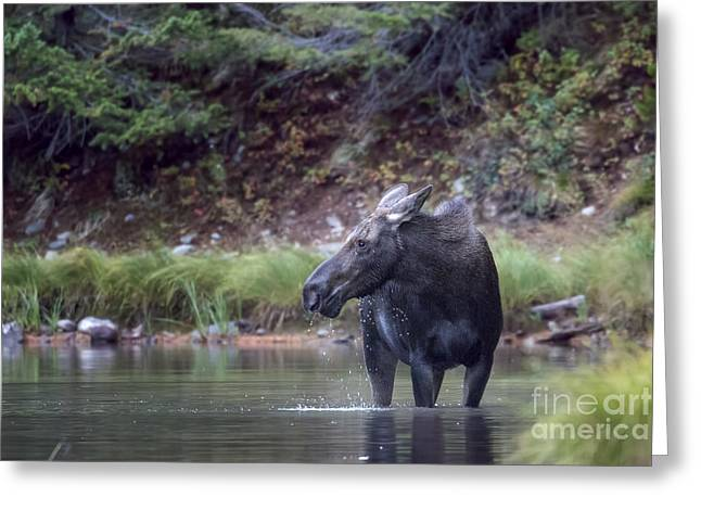 Aquatic Greeting Cards - Momma Moose at Fishercap Lake Greeting Card by Jemmy Archer