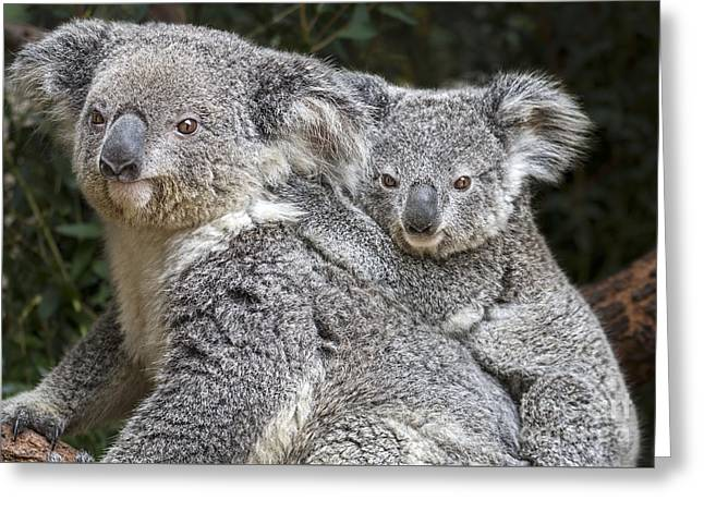 Koala Photographs Greeting Cards - Mommy Hugs Greeting Card by Jamie Pham