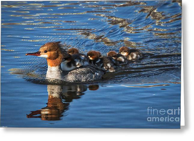 Merging Greeting Cards - Mommy Merganser  Greeting Card by Mitch Shindelbower