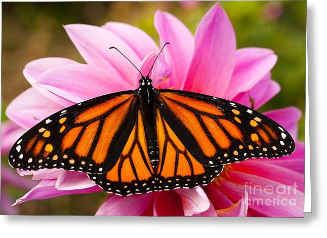 Steve Augustin Greeting Cards - Monarch and Dahlia Greeting Card by Steve Augustin