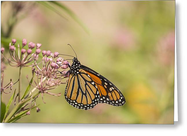 Swamp Milkweed Greeting Cards - Monarch and Swamp Milkweed 1-2015 Greeting Card by Thomas Young