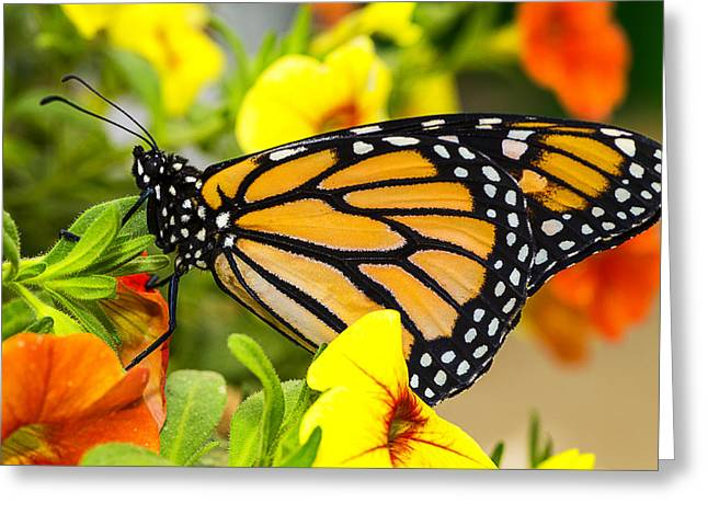 Monarchs Greeting Cards - Monarch Beauty Greeting Card by Garry Gay