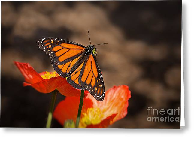 Monarch Butterfly Greeting Cards - Monarch Butterfly and Poppies Greeting Card by Ana V  Ramirez