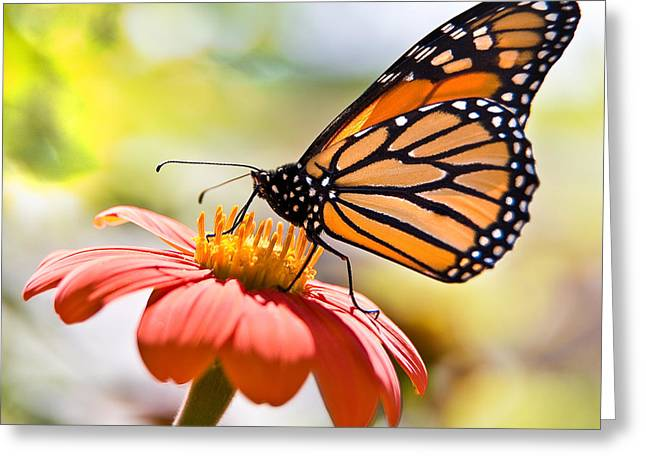 Chris Lord Greeting Cards - Monarch Butterfly Greeting Card by Chris Lord