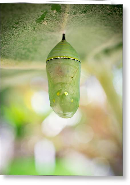 Cocoon Greeting Cards - Monarch Butterfly Chrysalis Greeting Card by Priya Ghose