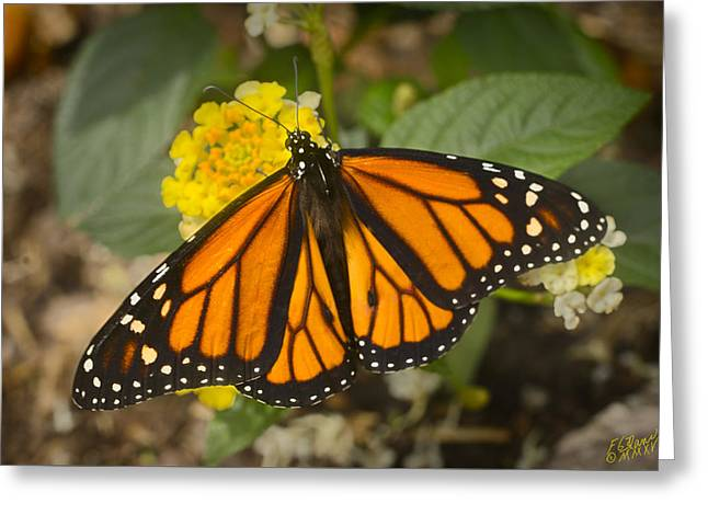 Flying Animal Greeting Cards - Monarch Butterfly Greeting Card by F Leblanc