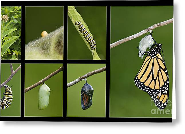 Monarch Butterfly Life Cycle - D003995 Greeting Card by Daniel Dempster