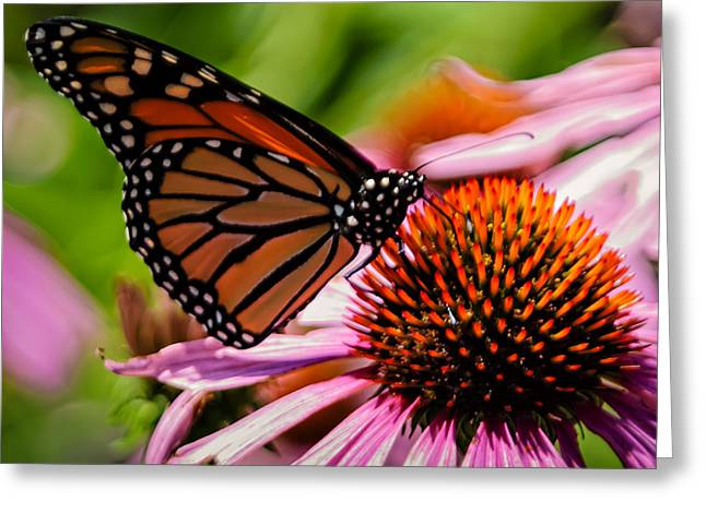 Landscape Framed Prints Greeting Cards - Monarch Butterfly No.41 Greeting Card by Mark Myhaver