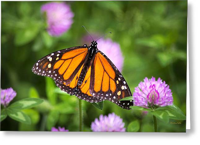 Danaus Plexippus Greeting Cards - Monarch Butterfly On Bright Pink Clover Flowers Greeting Card by Christina Rollo