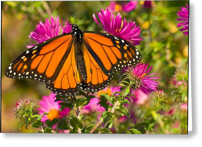 Chris Lord Greeting Cards - Monarch Feeding Greeting Card by Chris Lord