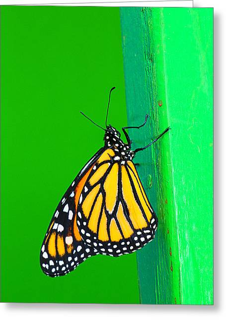 Monarch Greeting Cards - Monarch On Green Wall Greeting Card by Garry Gay