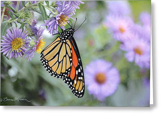 Aster Drawings Greeting Cards - Monarch on New England Aster Greeting Card by Bruce Morrison