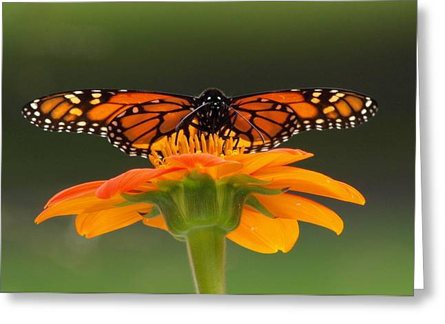 Monarch Butterfly Greeting Cards - Monarch Orange Greeting Card by Peter Gray