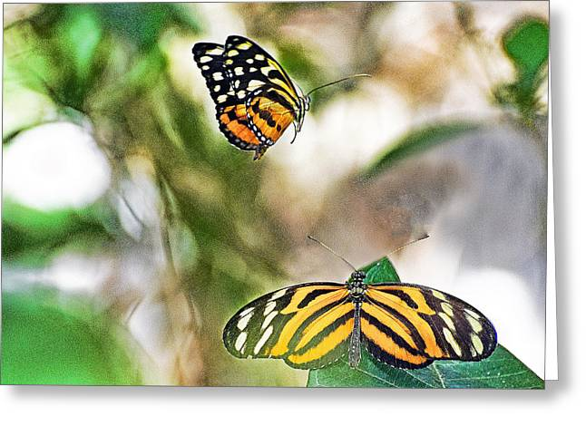 Monarch Pair Greeting Card by Cheryl Cencich