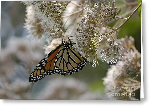 Randolph County Greeting Cards - Monarch Pink Greeting Card by Randy Bodkins