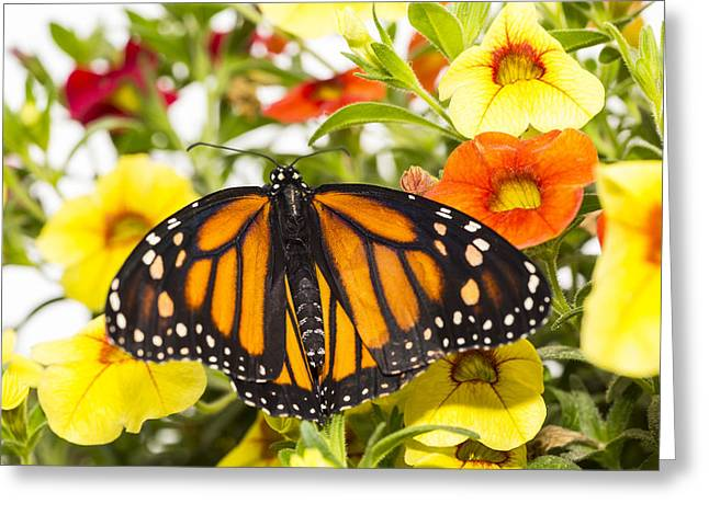 Monarchs Greeting Cards - Monarch With Spread Wings Greeting Card by Garry Gay