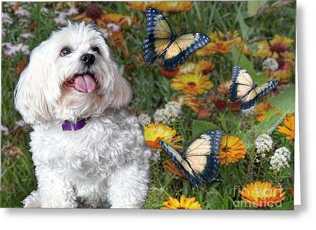 Toy Maltese Greeting Cards - Monarchs Kiss the Sun Greeting Card by Starlite Studio
