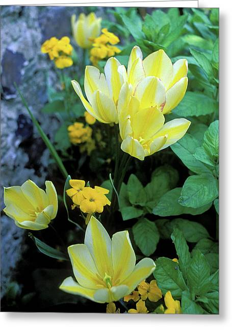 Yellow Flowers Framed Prints Greeting Cards - Monets Fancy Tulips Greeting Card by Kathy Yates