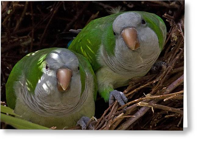 Recently Sold -  - Quaker Greeting Cards - Monk Parakeet Pair Greeting Card by Larry Linton