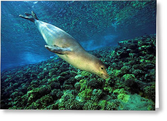 Sea Creature Photos Greeting Cards - Monk Seal Dive Greeting Card by Dave Fleetham - Printscapes
