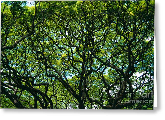 Overhang Greeting Cards - Monkeypod Canopy Greeting Card by Peter French - Printscapes