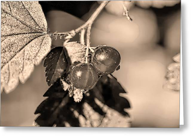 White Photographs Greeting Cards - Monochrome Two wild goosberries Greeting Card by Leif Sohlman