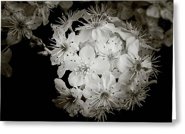 Monochrome Wild Plum Blooms 5536.01 Greeting Card by M K  Miller