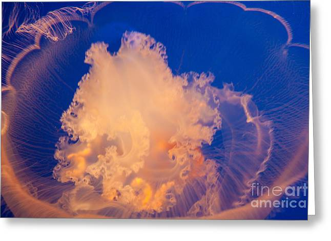 Jelly Fish Greeting Cards - Moon Jelly Fish Greeting Card by Atul Nema